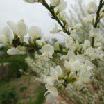 白花エニシダ